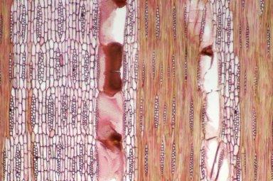 LEGUMINOSAE PAPILIONOIDEAE Haplormosia monophylla