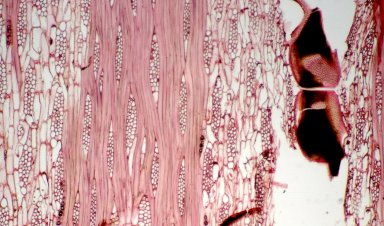 LEGUMINOSAE PAPILIONOIDEAE Hymenolobium flavum