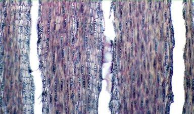 LEGUMINOSAE PAPILIONOIDEAE Machaerium opacum