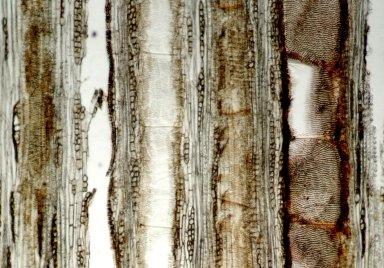 LEGUMINOSAE PAPILIONOIDEAE Machaerium polyphyllum
