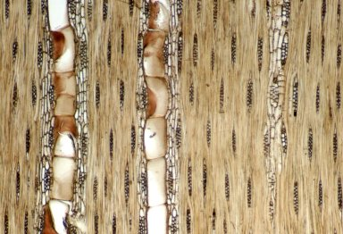 LEGUMINOSAE PAPILIONOIDEAE Myroxylon balsamum