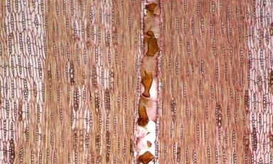 LEGUMINOSAE PAPILIONOIDEAE Pterocarpus erinaceus
