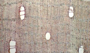 LEGUMINOSAE PAPILIONOIDEAE Pterocarpus officinalis