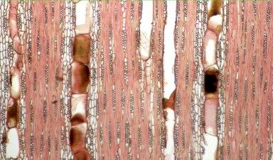 LEGUMINOSAE PAPILIONOIDEAE Sweetia nitens