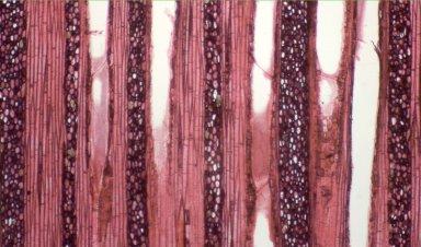 MARCGRAVIACEAE Marcgravia gracilis