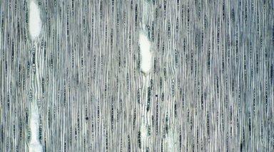 MYRTACEAE Eucalyptus delegatensis