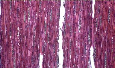 MYRTACEAE Gomidesia affinis