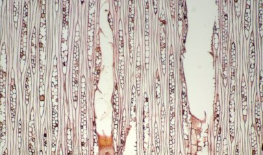 MYRISTICACEAE Virola surinamensis