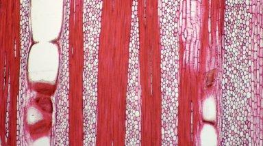 ANISOPHYLLEACEAE Anisophyllea obtusifolia