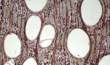 RUBIACEAE Hillia illustris