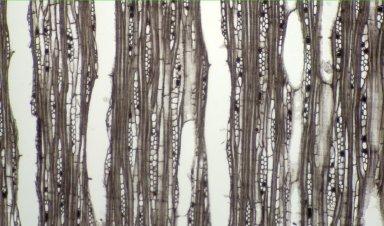 RUBIACEAE Mitragyna macrophylla