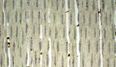 RUTACEAE Chloroxylon swietenia