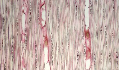 RUTACEAE Zanthoxylum apiculatum