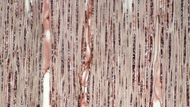 SAPOTACEAE Chrysophyllum sanguinolentum