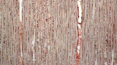 SAPOTACEAE Ecclinusa ramiflora