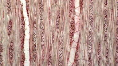 URTICACEAE Debregeasia longifolia