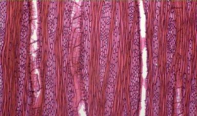 URTICACEAE Pipturus albidus