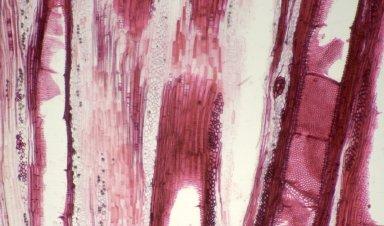 URTICACEAE Poikilospermum suaveolens