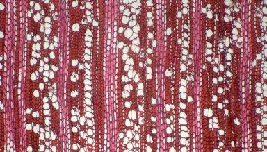 VIOLACEAE Paypayrola guianensis