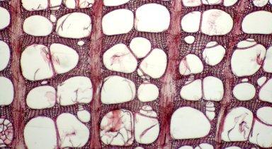 VITACEAE Parthenocissus quinquefolia