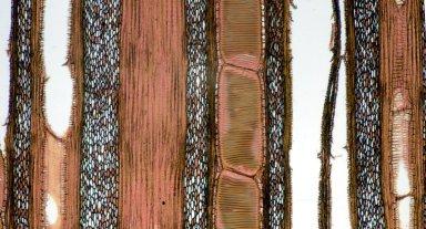 VITACEAE Cissus capensis