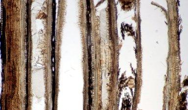 VITACEAE Cayratia vitiensis