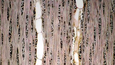 VOCHYSIACEAE Ruizterania albiflora