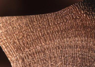 ANACARDIACEAE Pistacia lentiscus