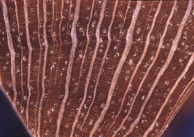 ANNONACEAE Anaxagorea acuminata