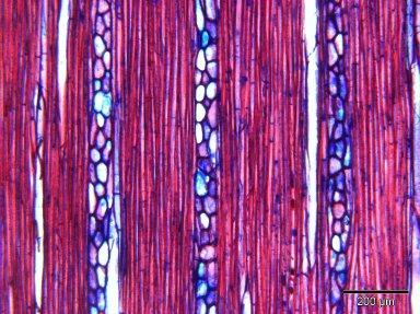 PRIMULACEAE MYRSINOIDEAE Discocalyx megacarpa