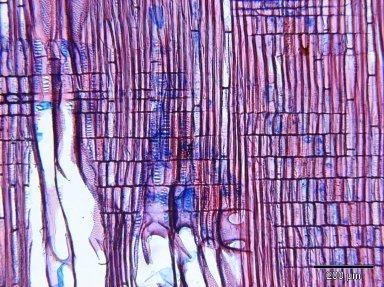 SAPOTACEAE Sarcosperma laurinum