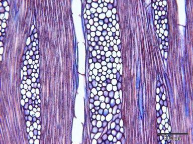PRIMULACEAE Jacquinia armillaris