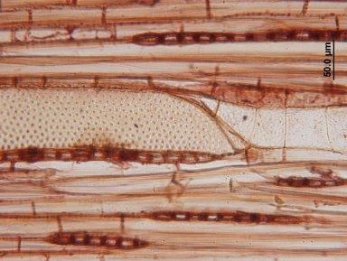 JUGLANDACEAE Pterocarya macroptera insignis