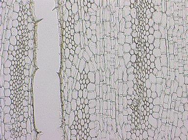 MALVACEAE BOMBACOIDEAE Cavanillesia platanifolia