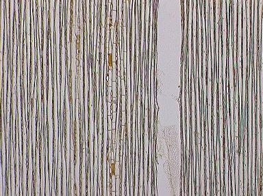CRYPTERONIACEAE Dactylocladus stenostachys