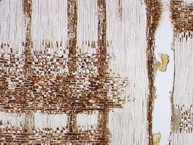 LEGUMINOSAE DETARIOIDEAE Cynometra inaequifolia