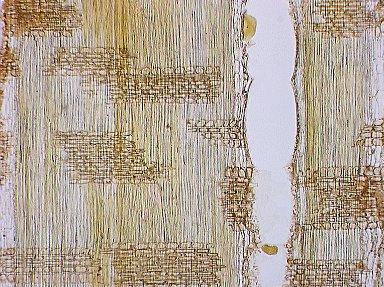LEGUMINOSAE CAESALPINIOIDEAE Didelotia idae
