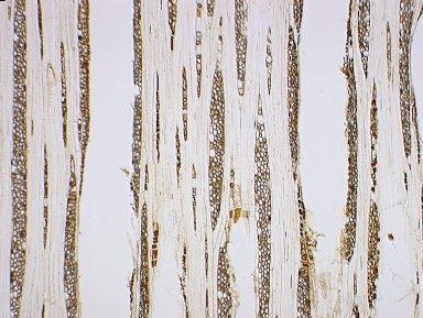 DIPTEROCARPACEAE Dipterocarpus coriaceus
