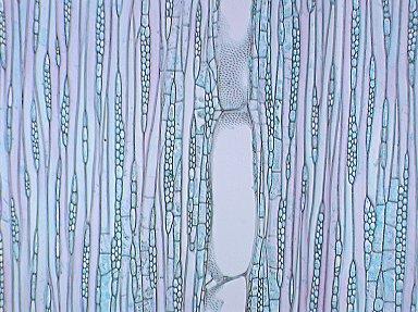 EUPHORBIACEAE Endospermum macrophyllum