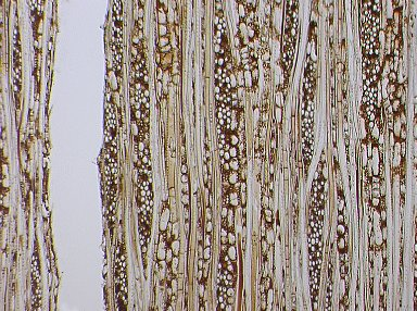 PHYLLANTHACEAE Hieronyma alchorneoides