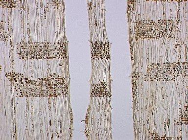 FAGACEAE Lithocarpus kawakamii