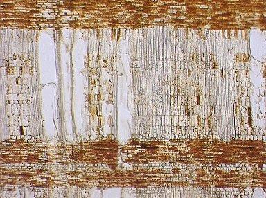 SALICACEAE Homalium foetidum