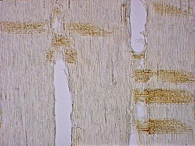 LEGUMINOSAE MIMOSOIDEAE Acacia mangium