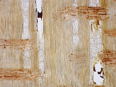 LEGUMINOSAE MIMOSOIDEAE Cylicodiscus gabunensis