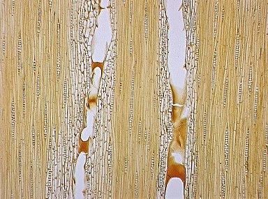 LEGUMINOSAE MIMOSOIDEAE Leucaena glauca