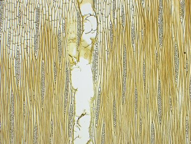 MORACEAE Clarisia racemosa