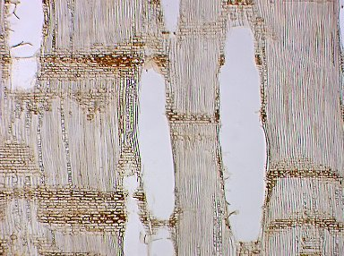 MYRTACEAE Eucalyptus deglupta
