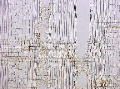 MALVACEAE GREWIOIDEAE Heliocarpus americanus