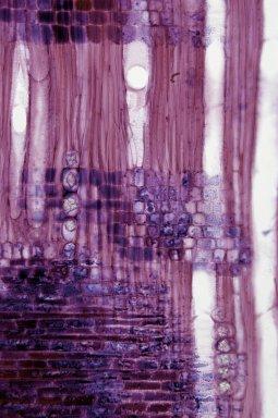 ROSACEAE Prunus incisa