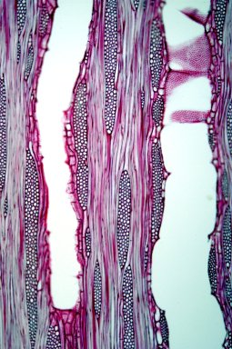 LEGUMINOSAE PAPILIONOIDEAE Cladrastis sikokiana